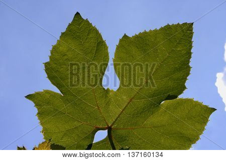green grape leaves against the blue sky
