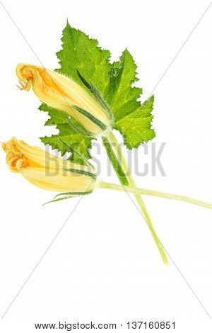 Green Squash Leaf And Yellow Blossoms, Isolated On White Background.