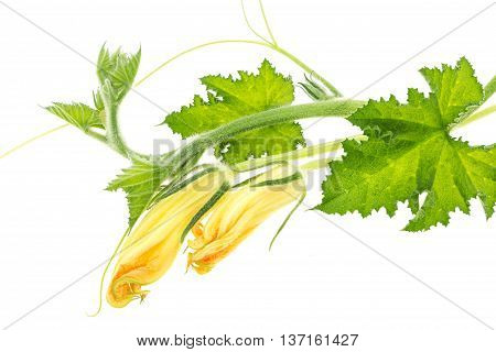 Green Squash Branch With Leaves And Yellow Blossoms, Isolated On White Background.