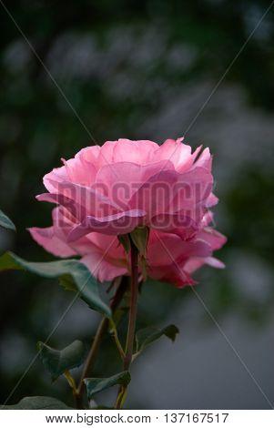 róża rosnaca na rabaciezdjęcie z dnia 28.07.2008 r. Polska rose growing rebate a picture of 28.07.2008 r Poland