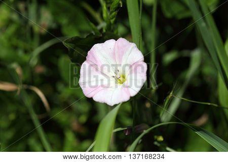 Flowering field bindweed (Convolvulus arvensis) in a field.