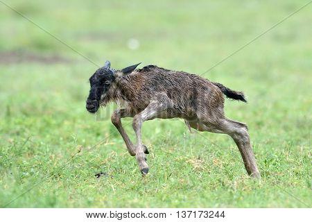 newborn of Blue wildebeest (Gnu or Connochaetes taurinus) in the Serengeti national park