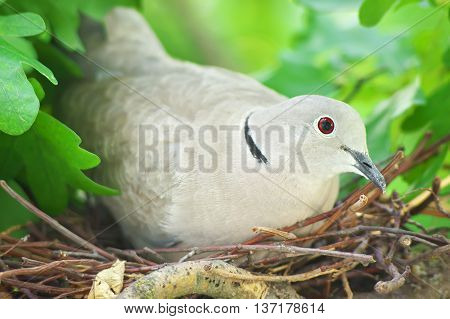 Pigeon Bird. Nest Of A Bird In The Nature.