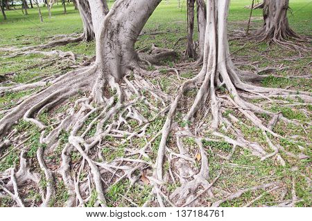 big tree root nature background , root on ground
