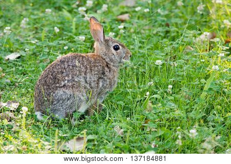 Cottontail Rabbit sitting in clover looking into the woods.