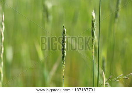 Green Spelt or dinkel wheat (Triticum spelta) in a field.