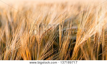 Sunny gold wheat field - background of fresh summer gold wheat field ears close up with shallow depth nature backdrop