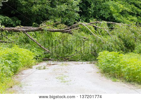 Willow tree blown down across the road by a storm