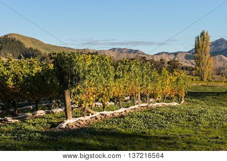 rows of grapevine in Marlborough region in New Zealand