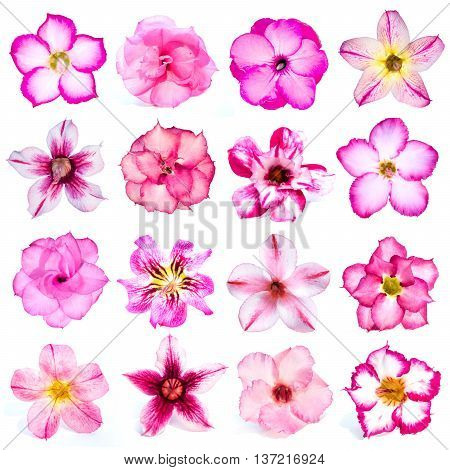 Collection of pink flowers isolated on white background. azalea flowers