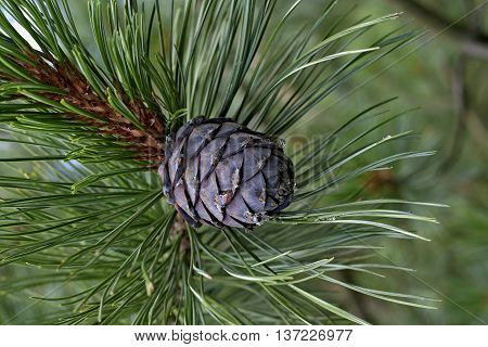 Pine cone on a twig in the forest