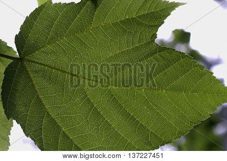 big nice green leaf in the garden