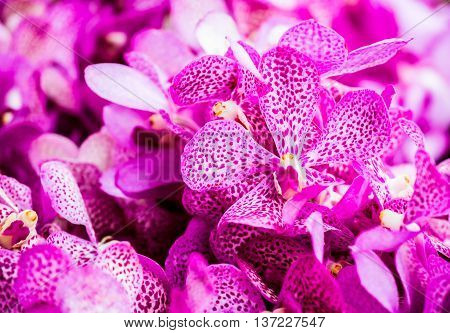 vanda   flower in market  chiangmai  province Thailand.