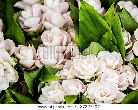 siam tulip   flower in market  chiangmai  province Thailand.