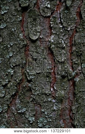 resin on the bark in the forest