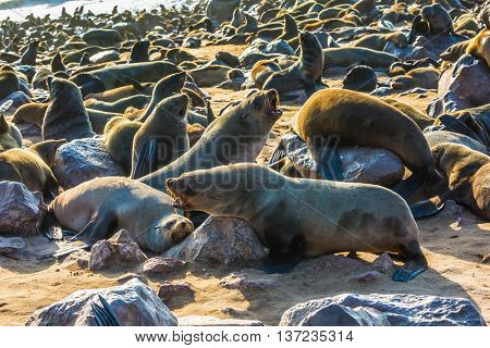 Large colony of animals in Cape Cross, Namibia. Reserve fur seals