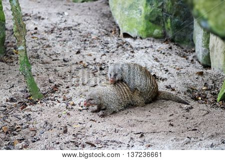 Two Mongooses are mating with one on top of the other
