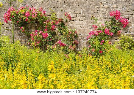 Pink climbing roses and yellow flowers in an English garden.