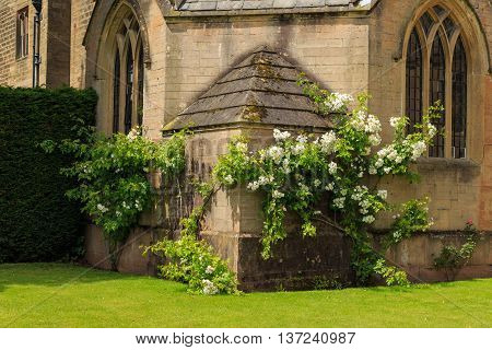 NEWSTEAD NOTTINGHAMSHIRE - JULY 5: White climbing roses growing at the side of Newstead Abbey. At Newstead Abbey Nottinghamshire England. On 5th July 2016.