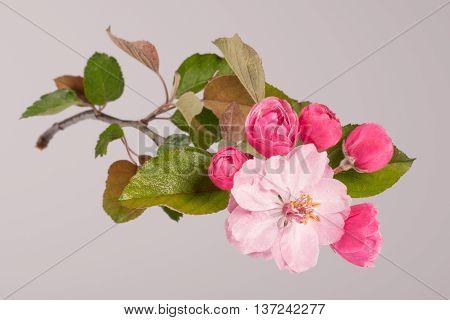 Flowers Of Brandywine Crabapple Tree On Branch. Apple Tree.