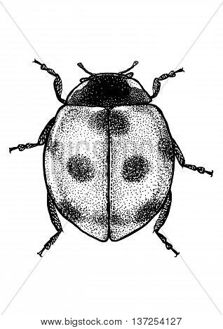 engraved, drawn,  illustration, insect, ladybug, ladybird, beetle