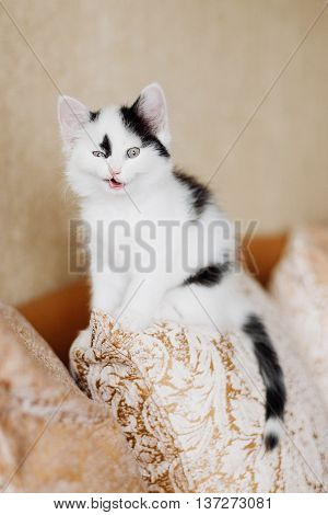 Funny angry kitten Harlequin color at home poster