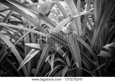 Pandanus Palm or Fragrant Pandan or Pandom wangi.