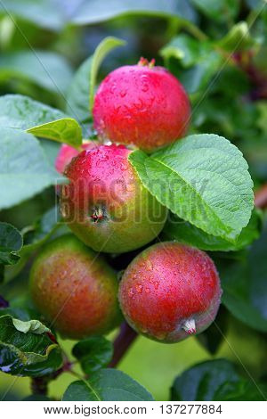 Red apples covered with raindrops in autumn typical sight in Aland Island.