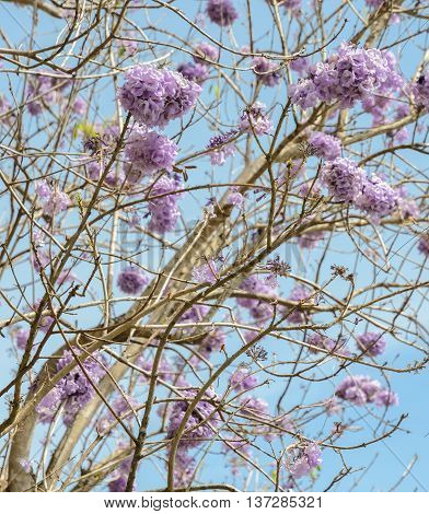 Jacaranda tree with a bunch of purple flower on blue sky background