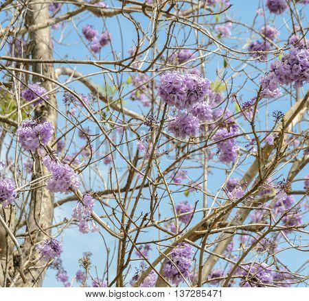 Jacaranda tree with bunches of purple flower in full bloom