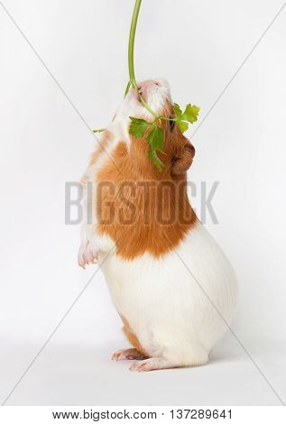 guinea-pig is eating verdure stand on back foots on the light background