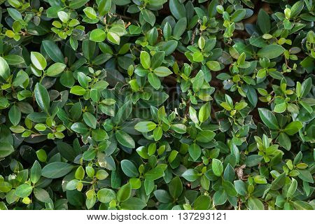 Small green leaves background. Tiny green leaf background