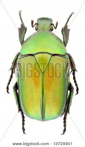 Rhomborrhina Unicolor