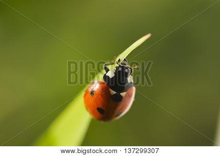 Beetles ladybug in green grass sunlight Macro