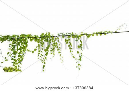Ivy green with leaf on isolate white background