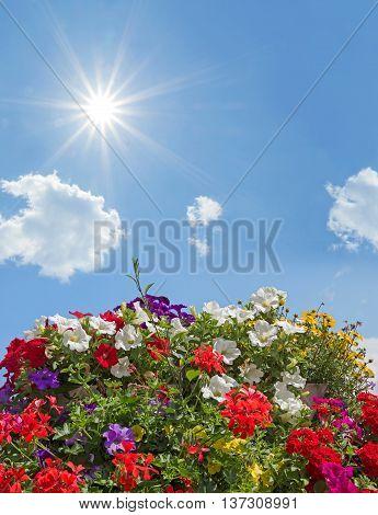 Geraniums, Petunias And Bidens, Against Blue Sky With Bright Sunshine