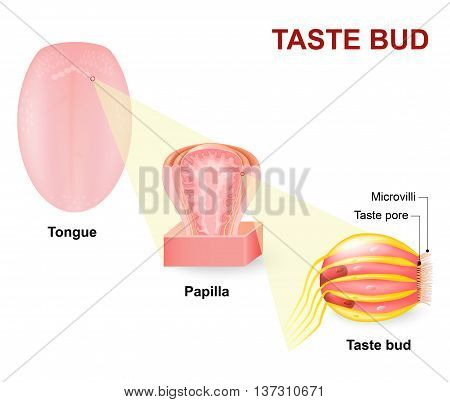 Human tongue Lingual papilla and taste bud. Taste receptors of the tongue are present in papillae and are the receptors of taste