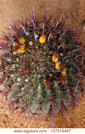 barrel cactus fishhook spines Arizona desert landscape