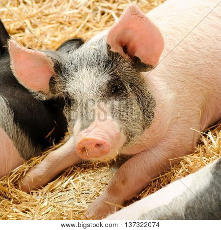 Piglet On The Farm Close - Up