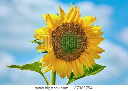 Single Yellow Sunflower against the Cloudy Sky