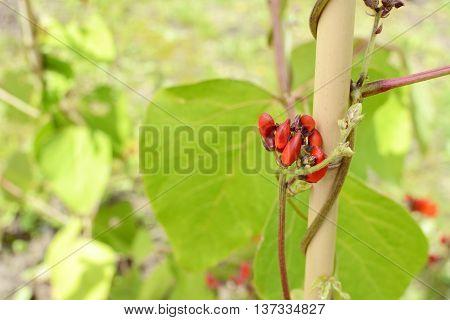 Red Runner Bean Flower Buds