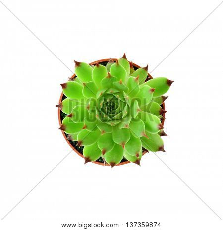 Succulent in flowerpot on white background