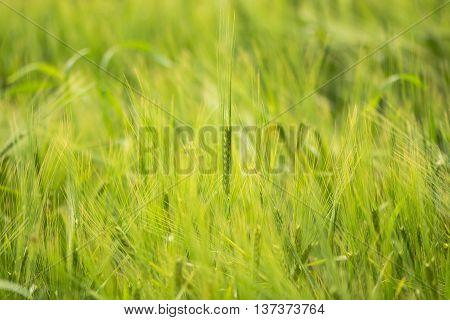 Two-row barley (Hordeum vulgare) growing in field. A ripening cereal crop still green soon to turn golden before harvest
