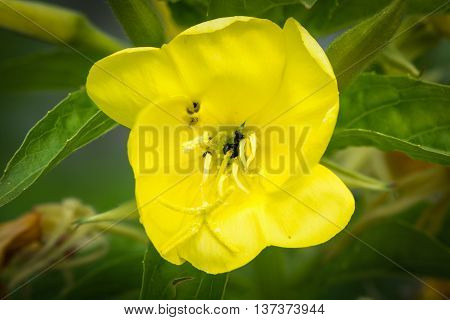Flower of common evening primrose (Oenothera biennis). Lemon yellow bloom of plant in the family Onagraceae native to North America and naturalised in the UK
