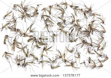 Close up Mosquito isolated on white background Top view