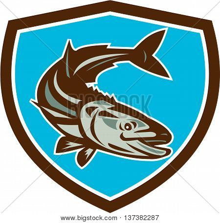 Illustration of a cobia (Rachycentron canadum) or black kingfish black salmon ling lemonfish crabeater prodigal son black bonito aruan tasek achycentron canadum diving down viewed from front set inside shield on isolated background done in retro style.