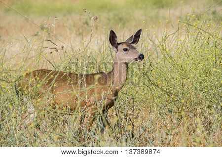 A doe of a Black tail Deer standing in the dry grass field.
