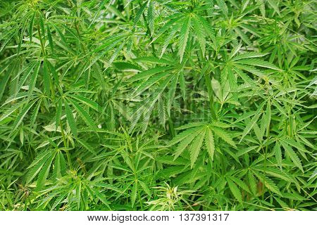 Bushes of cannabis growing outdoors. Used in drug industry