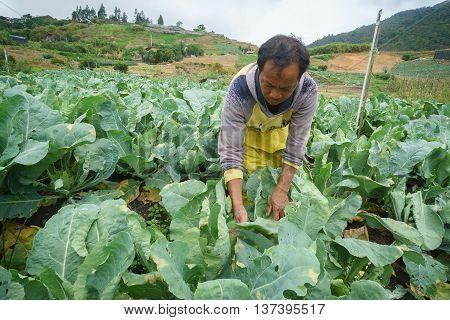 Kundasang Sabah Malaysia - May 26 2016 : Unidentified farmer working on her vegetable plot at Kundasang Sabah. Kundasang is a vegetable main producer in Sabah Malaysian Borneo.
