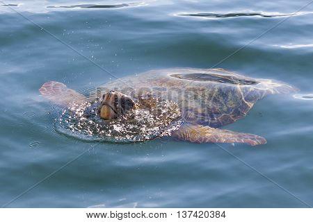 Loggerhead sea turtle in Cephalonia (Kefalonia), Greece